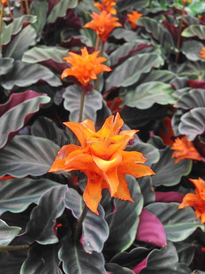 Tropical orange Calathea Crocata Tasmania flowers. With dark leaves also known as Eternal Flame stock photo