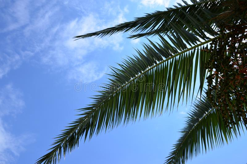 Tropical palm against the blue sky royalty free stock image