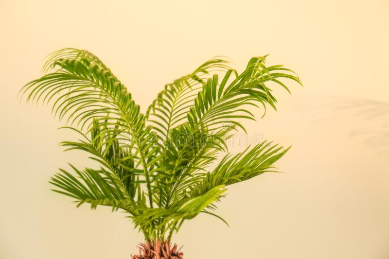 Tropical palm with bright green leaves royalty free stock photo