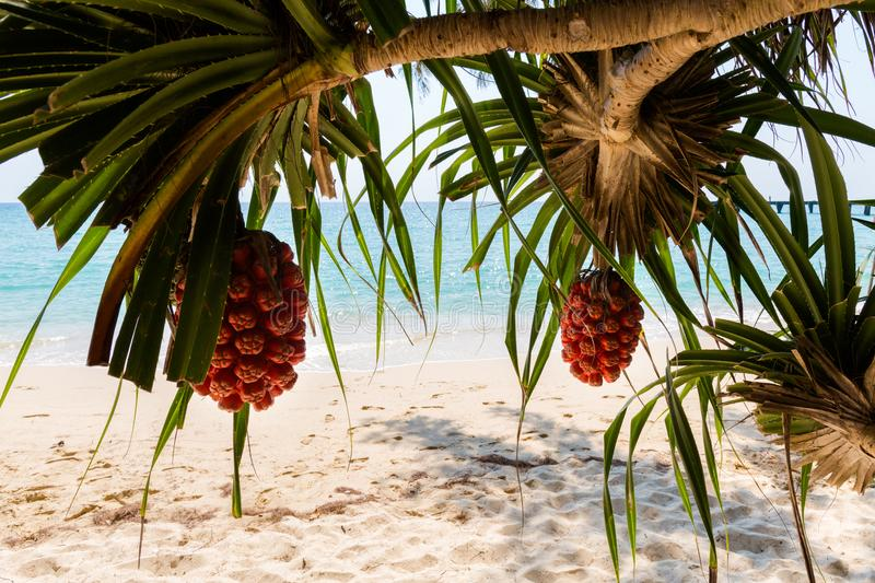 Tropical palm fruits Koh Kood royalty free stock images