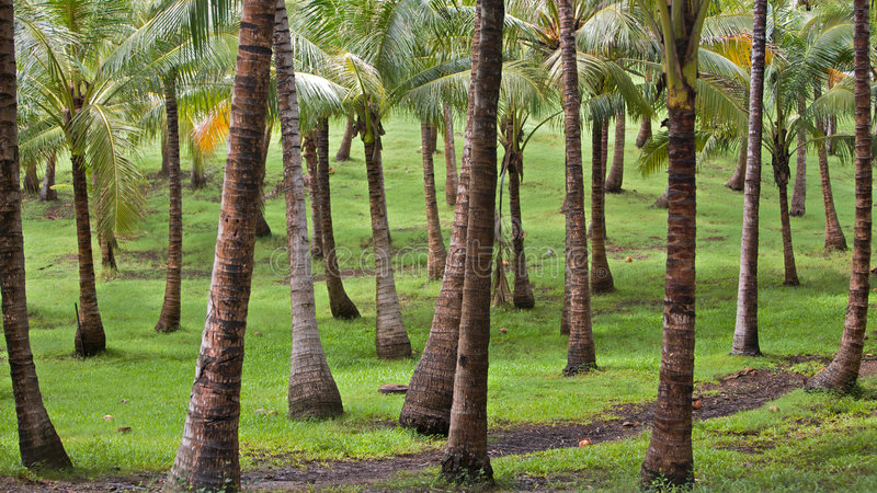 Download A tropical palm grove stock photo. Image of cloud, leaves - 8681752