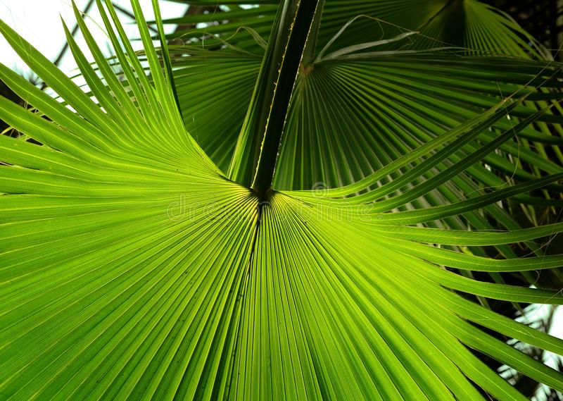 Tropical Palm leaf in the garden, Green leaves of tropical forest plant for nature pattern and background stock photo