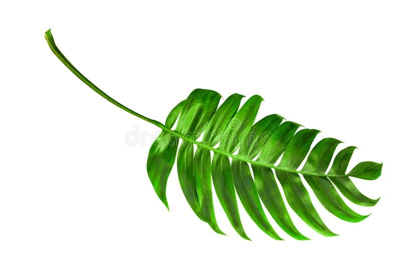 Download Tropical Palm Leaf Isorated Top View Stock Image