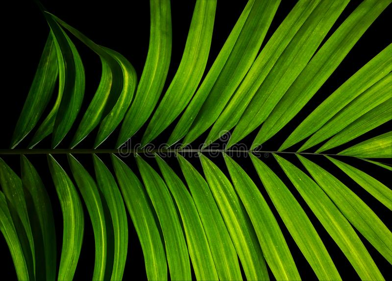 Tropical palm leaves, abstract green nature pattern for wall art. Home decorations and fabric printing on black background royalty free stock photography