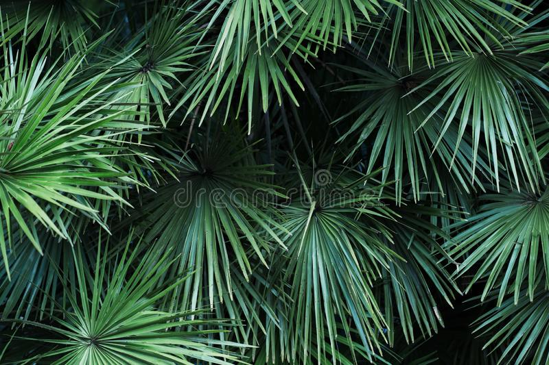 Tropical palm leaves with sunlight, floral pattern background. Tropical palm leaves, floral pattern background, real photo royalty free stock photo