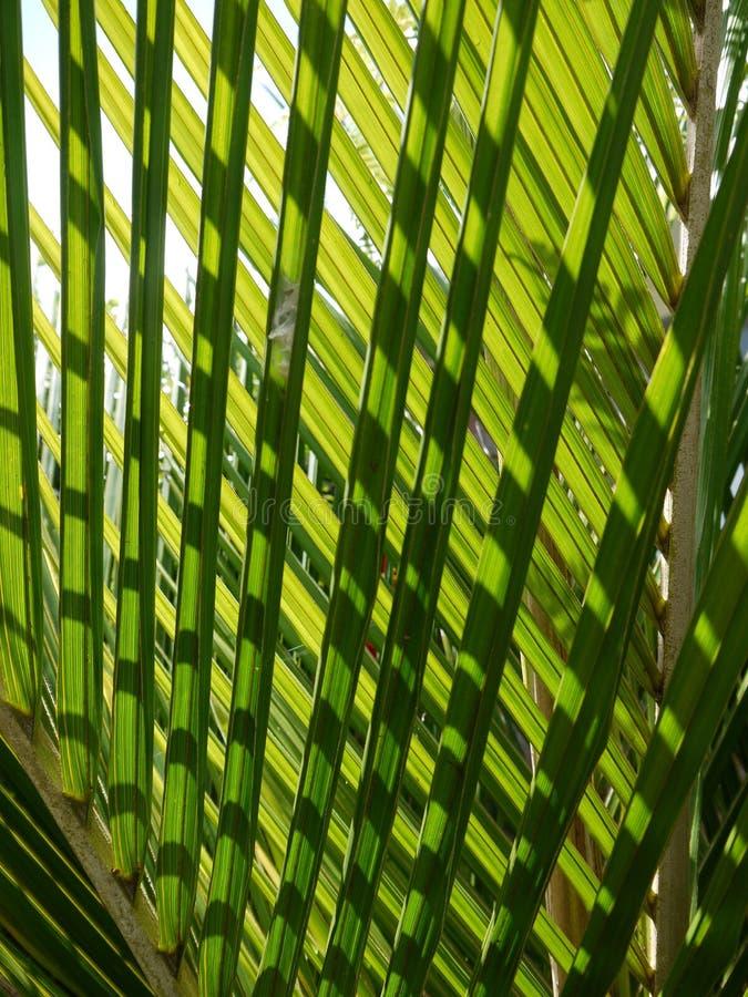 Tropical palm: nikau fronds royalty free stock photo