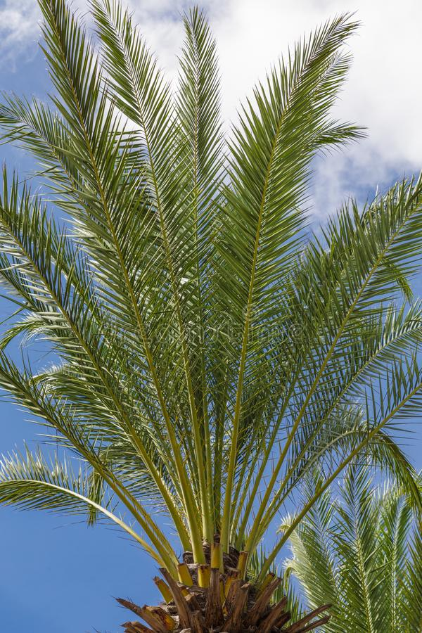 Date Palm Tree Against Sky royalty free stock photos