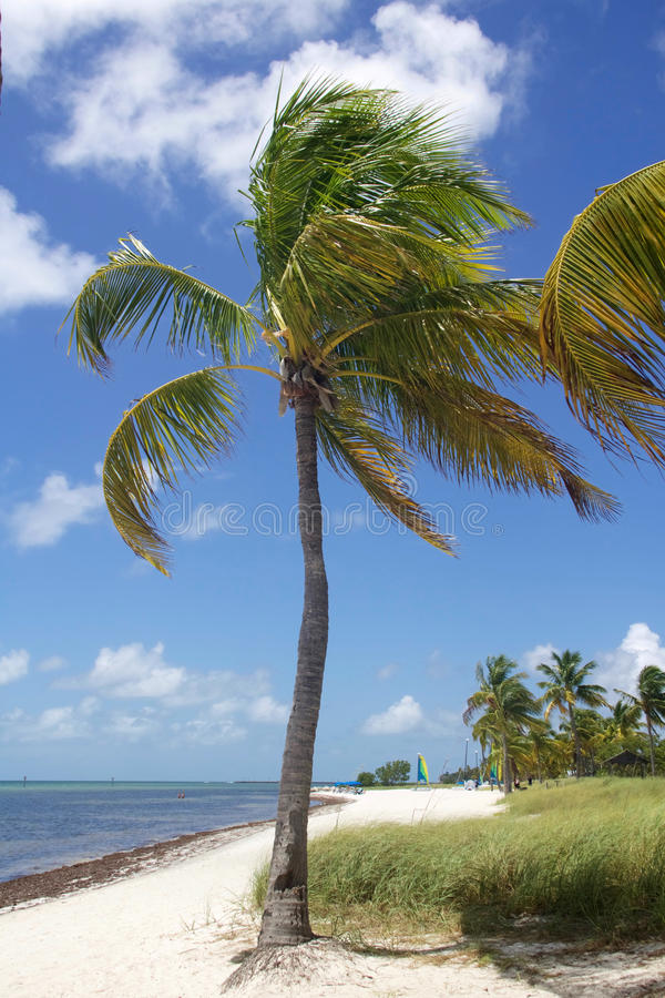 Tropical Palm Tree. A tropical palm tree at the beach beach - Smathers Beach in Key West Florida stock image