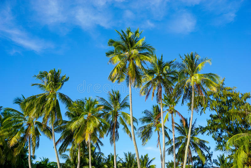 Tropical palm tree on blue sky royalty free stock photos
