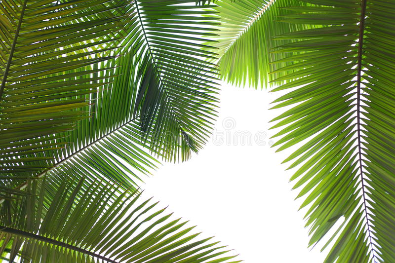Tropical palm tree leaves royalty free stock photo