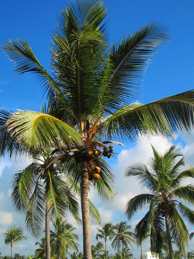 tropical palm trees royalty free stock photo