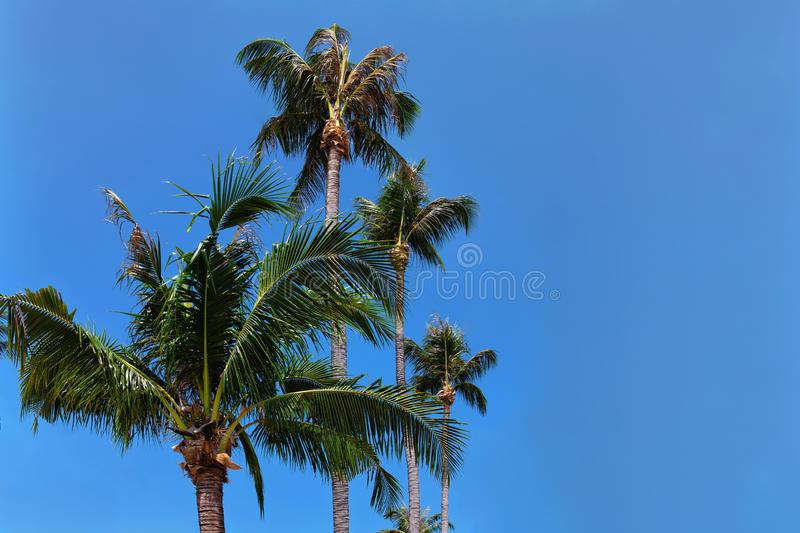 Tropical palm trees against a clean blue sky on a sunny day. There is space for text royalty free stock photography