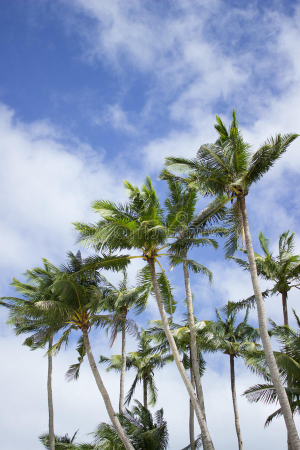 Tropical palms royalty free stock photography