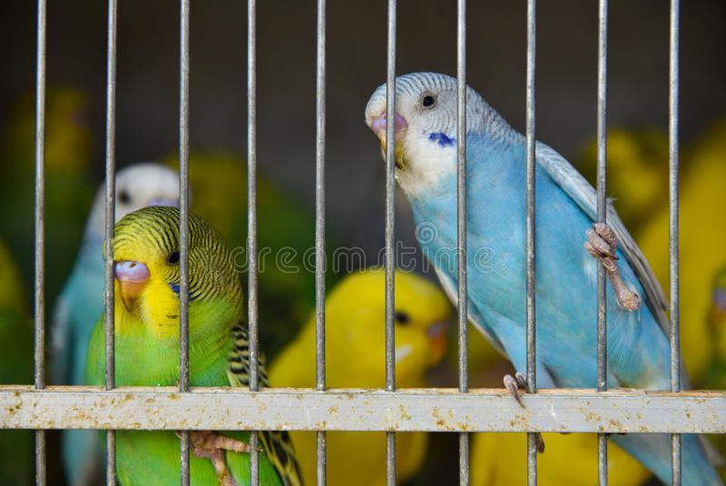 Tropical parrots sit in a cage at poachers in the market royalty free stock photography