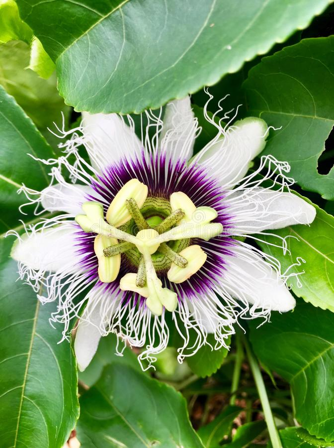 Tropical passion fruit flower up close in purple and white stock photo