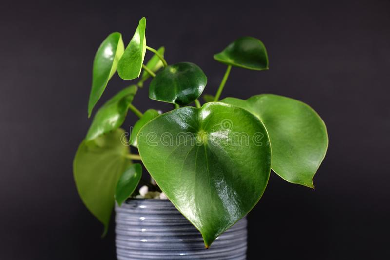 Tropical `Peperomia Polybotrya Radiator Plant` house plant with thick heart-shaped leaves in gray flower pot stock photo