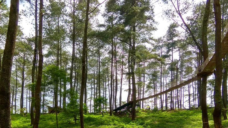 Tropical pine forest with suspended walkway linking trees. royalty free stock photo