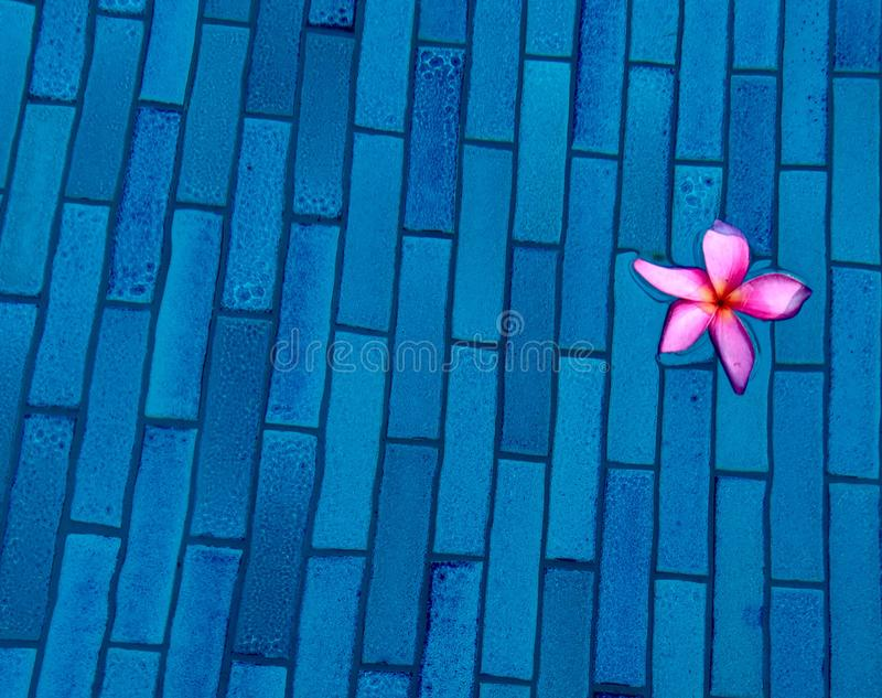 Tropical pink frangipani floating in blue swiming pool stock photography