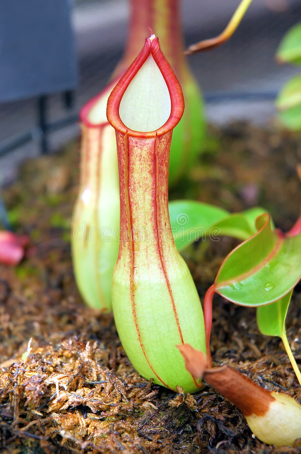 Free Tropical Pitcher Plant Stock Photography - 206892