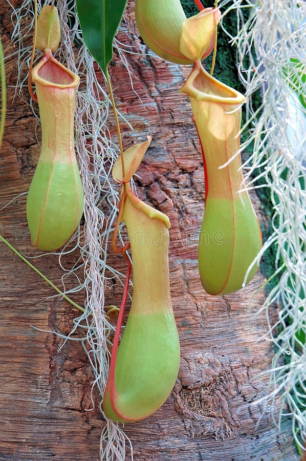Free Tropical Pitcher Plant Stock Photos - 206893