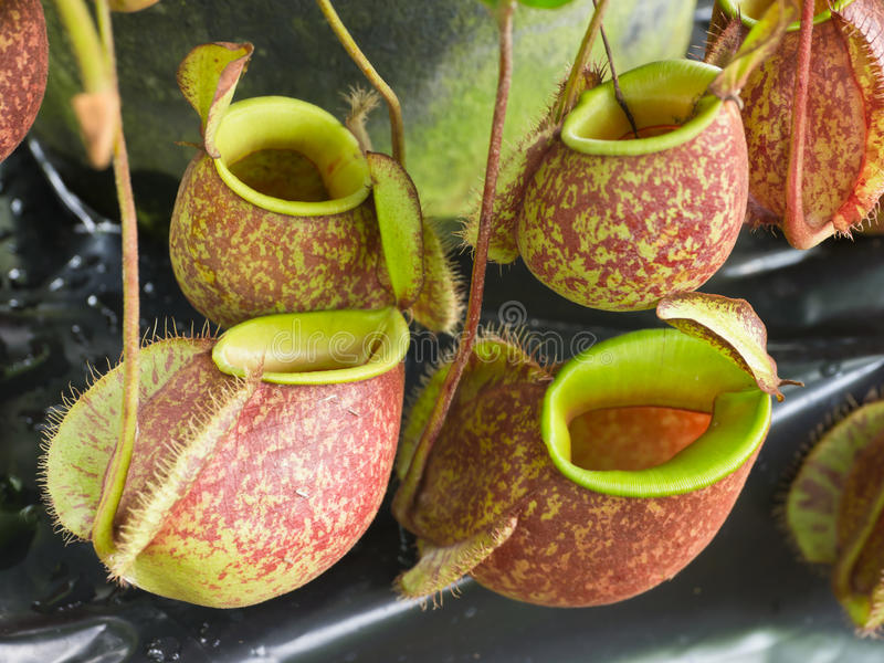 Tropical pitcher plants. Or Monkey cups royalty free stock photos