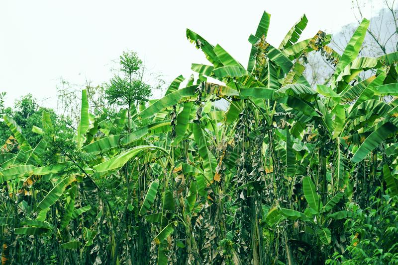 Tropical plant banana tree growing in banana field green jungle nature background. Tropical plant banana tree growing in the banana field green jungle nature royalty free stock images