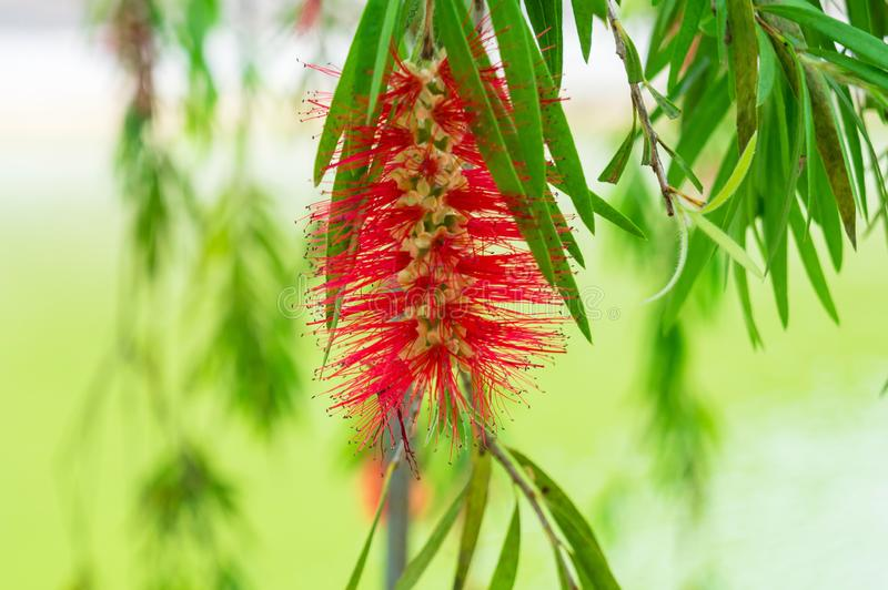 Tropical plant Callistemon with red growths on a tree royalty free stock image