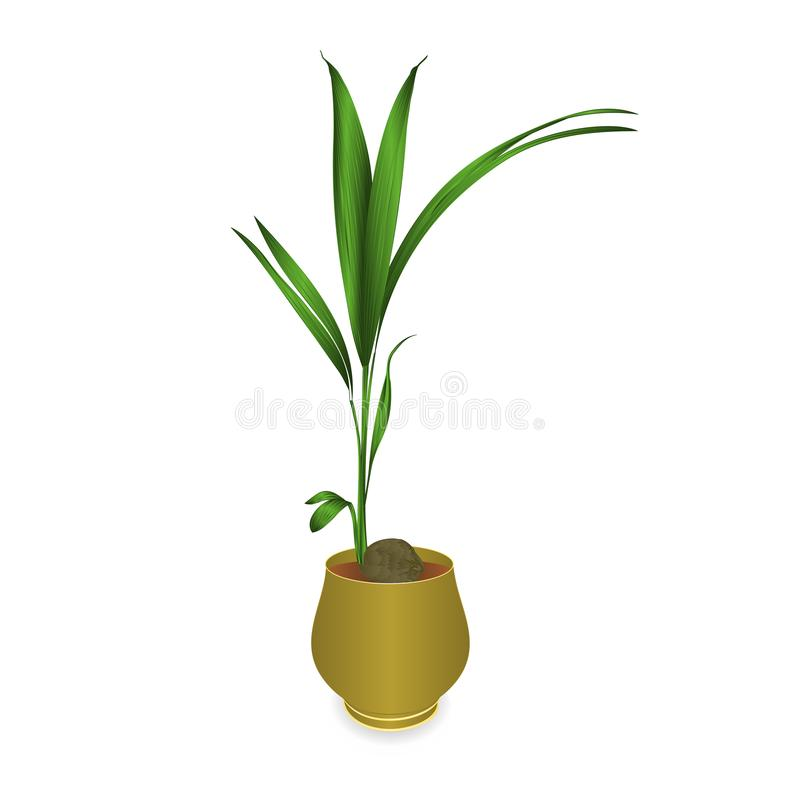 Tropical plant coconut palm in a pot on a white background vintage vector illustration editable. Hand draw vector illustration