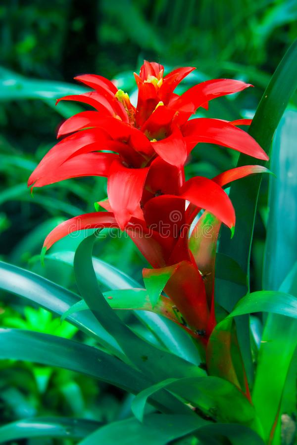 Tropical plant Ehmeya in blossoming on the background dark green foliage. Tropical flower close up. Rainforest of Brazil.  royalty free stock image