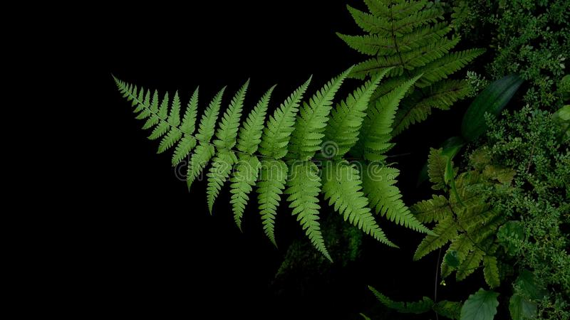 Tropical plant green leaves fern in garden on dark background royalty free stock photography