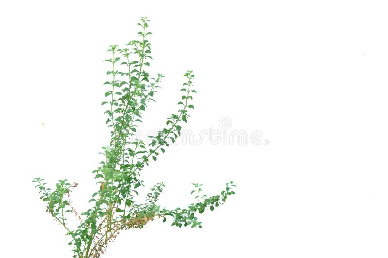 Tropical plant growing in a garden on white isolated background for green foliage backdrop royalty free stock images