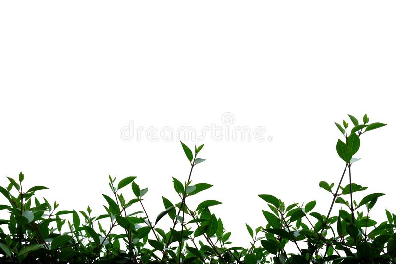 Tropical plant leaves with branches on white isolated background for green foliage backdrop. Tropical tree leaves branches white isolated background green stock photos