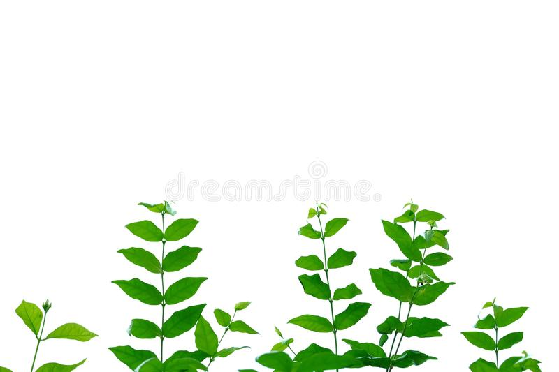 Tropical plant leaves with branches on white isolated background for green foliage backdrop. Tropical tree leaves branches white isolated background green royalty free stock photography