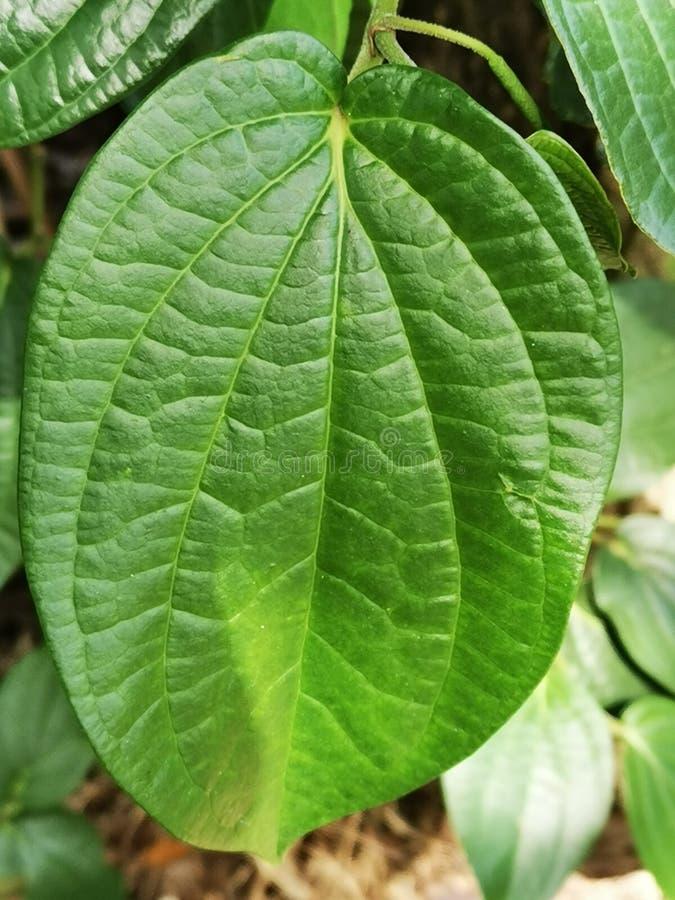 Florida Broadleaf Mustard (10 Grams,Approx 3000 Seeds ... |Mustard Tree Leaf