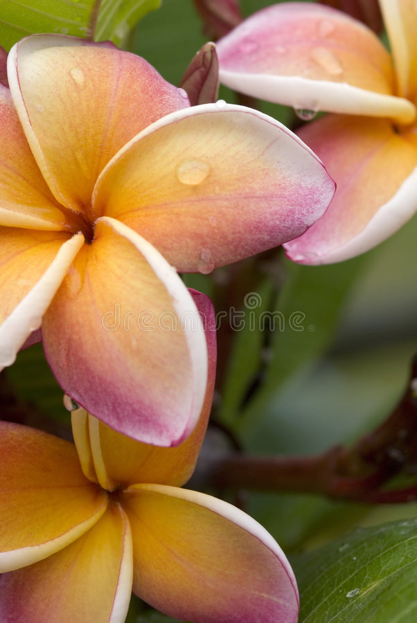 Tropical Plumeria/ Frangipani Flower, Thailand Royalty Free Stock Photography