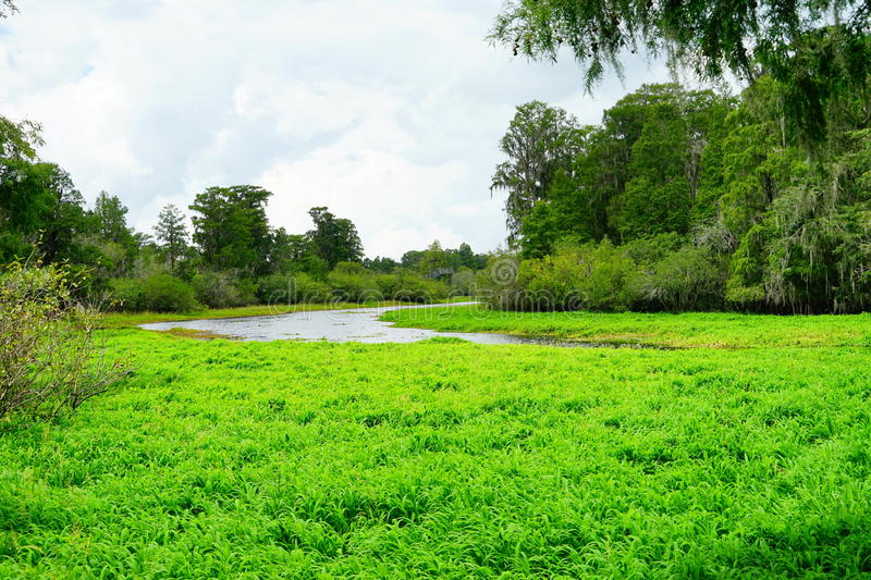 Tropical pond cover by algae. A Tropical pond covered by water grass, taken in Tampa, florida royalty free stock photos
