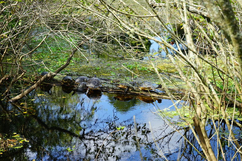 Tropical pond and turtle. Taken in Tampa, florida stock photos