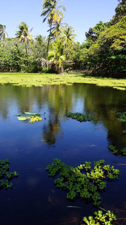 Tropical Pond With Water Hyacinth Stock Image