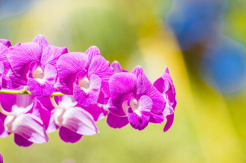 Tropical purple flowers, orchids on blurred jungle background. Purple Phalaenopsis or Moth dendrobium Orchid flower in winter or spring day tropical garden stock image