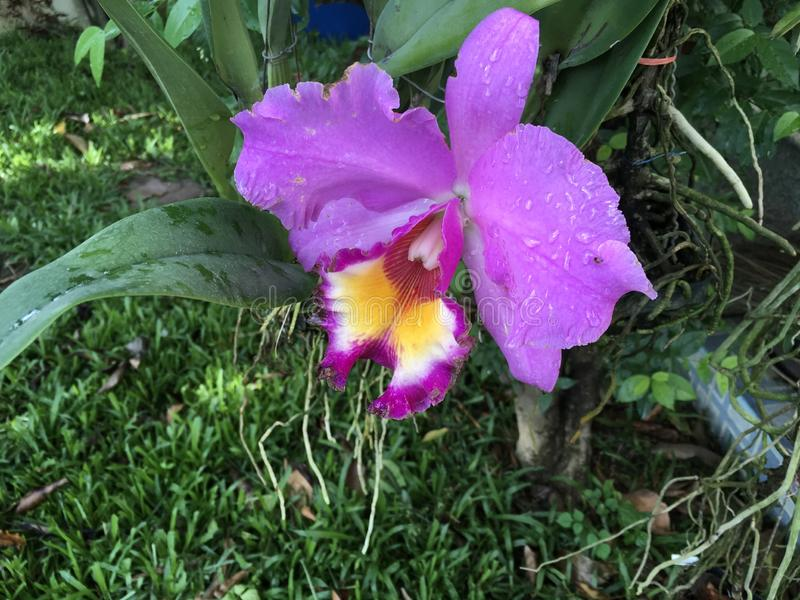 Tropical purple orchid stock photography