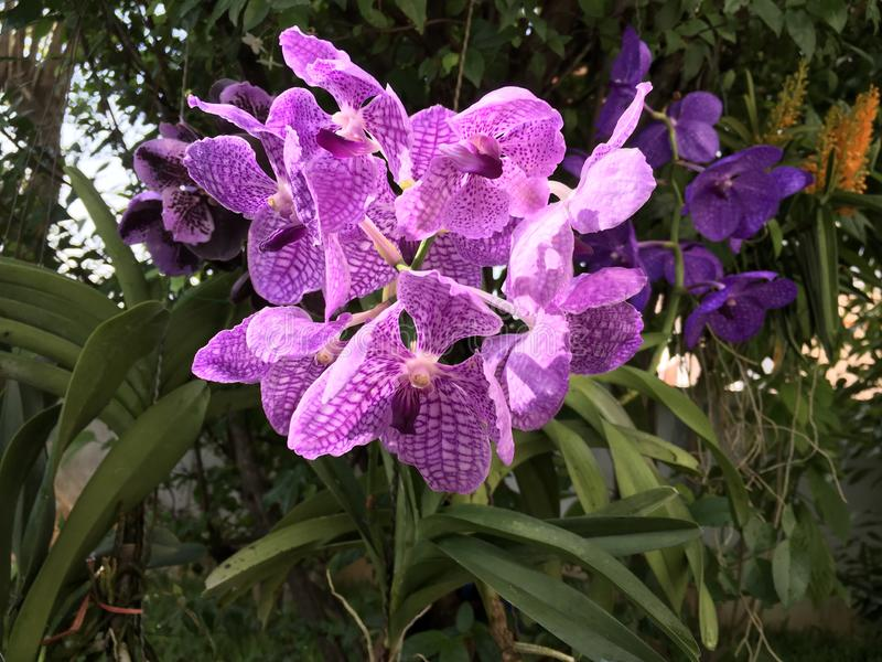 Tropical purple orchid royalty free stock photos