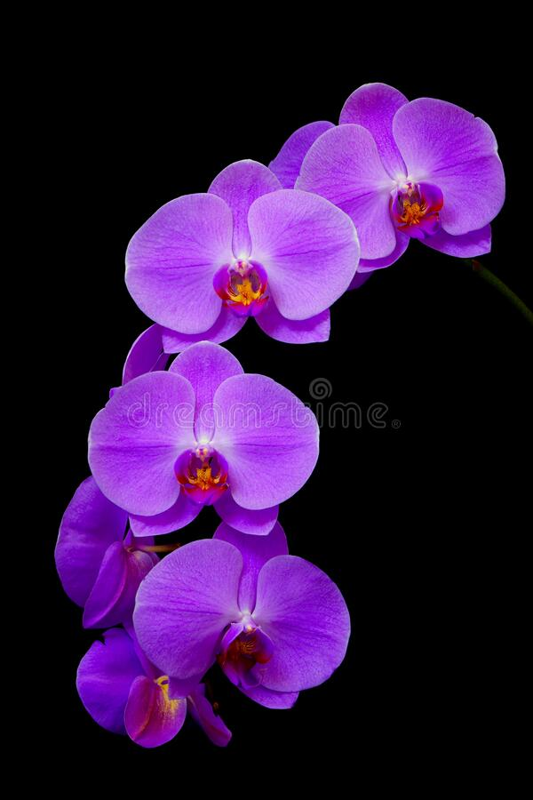Beautiful and delicate purple phalaenopsis orchids on dark background stock photo