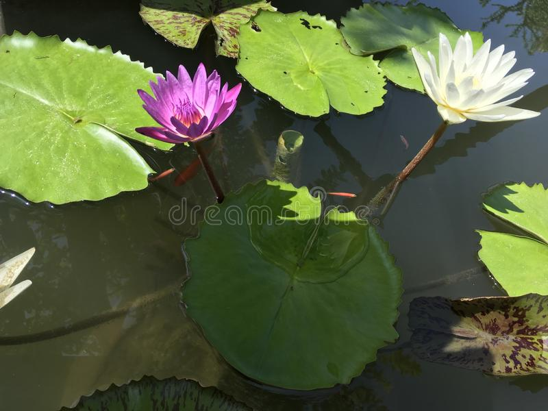 Tropical purple and white water lilies in a pond with tiny orange fishes. In bright sunny day serene peaceful green joy meditation aesthetic gardendesign royalty free stock images