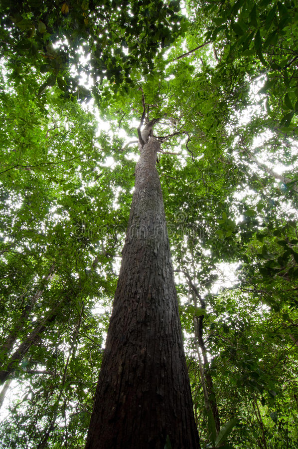 Tropical rain forest tree royalty free stock photography