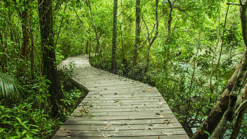 Tropical rainforest in asia with wood walk way, Krabi, Thailand royalty free stock image