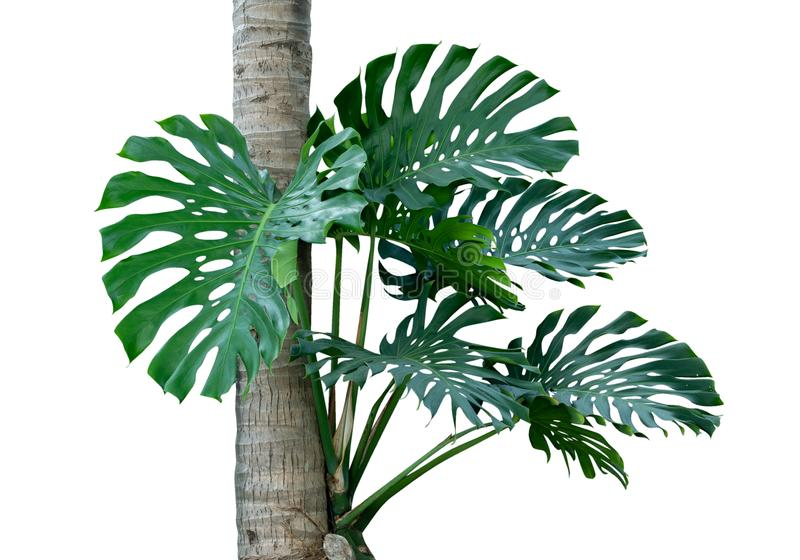 Tropical rainforest green Monstera jungle tree growing with coconut tree isolated on white background, clipping path stock photos