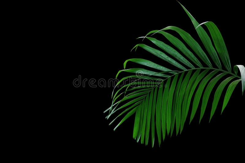 Tropical rainforest palm leaves foliage plant growing in wild isolated on black background royalty free stock photography