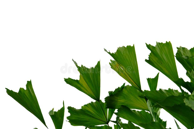 Tropical rainforest palm leaves on white isolated background for green foliage backdrop. Leaves white isolated background green foliage backdrop tropical tree stock image