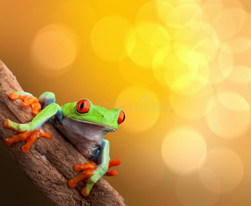 Tropical red eyed tree frog Costa Rica. Red eyed tree frog on vibrant background in tropical rainforest treefrog Agalychnis callydrias in jungle Costa Rica royalty free stock photography