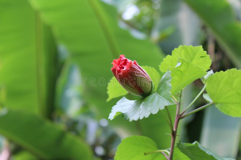 Tropical red hibiscus flower bud royalty free stock image